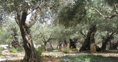 The 2,000 Year Old Olive Trees That Sheltered Jesus Christ